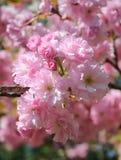 Λουλούδι Sakura ή άνθος κερασιών Στοκ εικόνες με δικαίωμα ελεύθερης χρήσης