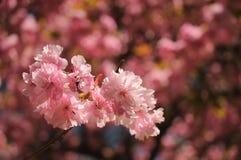 Λουλούδι Sakura ή άνθος κερασιών Στοκ εικόνα με δικαίωμα ελεύθερης χρήσης