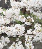 Λουλούδι sakura ανθών στην άνοιξη, Ιαπωνία στοκ εικόνα με δικαίωμα ελεύθερης χρήσης