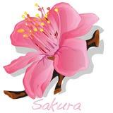 Λουλούδι Sakura διάνυσμα Στοκ Εικόνες