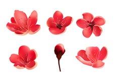 Λουλούδι Sakura που απομονώνεται Δέντρο κερασιών Στοκ εικόνα με δικαίωμα ελεύθερης χρήσης