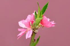 Λουλούδι Sakura Στοκ Εικόνες