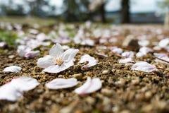 Λουλούδι Sakura Στοκ Φωτογραφία