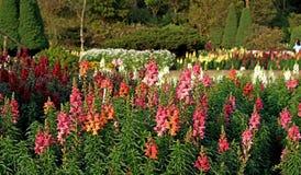 Λουλούδι Salvia στον κήπο Στοκ εικόνες με δικαίωμα ελεύθερης χρήσης