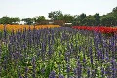 Λουλούδι Salvia Στοκ Φωτογραφία