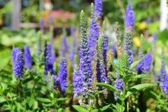 Λουλούδι Salvia Στοκ εικόνες με δικαίωμα ελεύθερης χρήσης