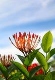 Λουλούδι Santan Στοκ Εικόνες
