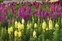 Λουλούδι Snapdragon. Στοκ Φωτογραφίες