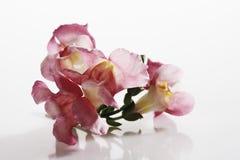 Λουλούδι Snapdragon (Antirrhinum) Στοκ φωτογραφία με δικαίωμα ελεύθερης χρήσης