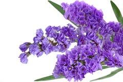 Λουλούδι Statice στοκ φωτογραφίες