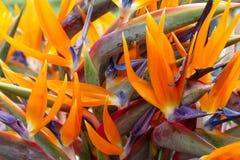 Λουλούδι Strelitzia ή πουλιών του παραδείσου του νησιού της Μαδέρας Στοκ φωτογραφία με δικαίωμα ελεύθερης χρήσης
