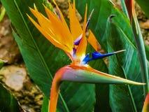 Λουλούδι Strelitzia Παράδεισος πουλιών στο Taormina, νησί Sicilia Στοκ Εικόνες