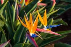 Λουλούδι Strelitzia, το σύμβολο του νησιού της Μαδέρας Στοκ εικόνα με δικαίωμα ελεύθερης χρήσης
