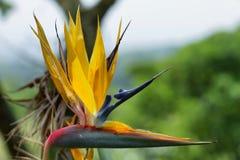 Λουλούδι Strelitzia (reginae Strelitzia) - λουλούδι πουλιών του παραδείσου Στοκ φωτογραφία με δικαίωμα ελεύθερης χρήσης