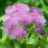 Λουλούδι Thalictrum Στοκ Εικόνα