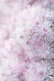 Λουλούδι Thalictrum Στοκ Φωτογραφία