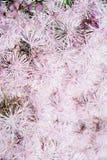 Λουλούδι Thalictrum Στοκ Εικόνες