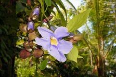 Λουλούδι Thunbergia ουρανού grandiflora στοκ εικόνες με δικαίωμα ελεύθερης χρήσης