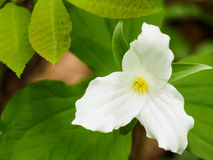 Λουλούδι Trillium στο δασικό πάτωμα στοκ εικόνες