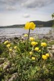 Λουλούδι Trollius σφαιρών στην ακτή του Λοχ Νες στη Σκωτία Στοκ Φωτογραφία