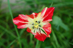Λουλούδι Ulip Στοκ εικόνες με δικαίωμα ελεύθερης χρήσης