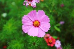 Λουλούδι Vinca Στοκ Εικόνα