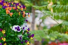 Λουλούδι Viola Στοκ εικόνα με δικαίωμα ελεύθερης χρήσης