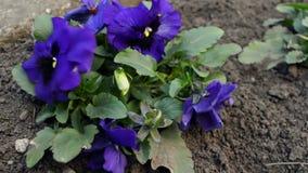 Λουλούδι Viola Tricolor κινηματογραφήσεων σε πρώτο πλάνο με το πράσινο περπάτημα φυλλώματος και Ladybug φιλμ μικρού μήκους
