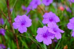 Λουλούδι Waterkanon Στοκ Εικόνες