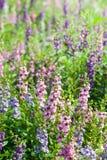 Λουλούδι Wichian Waew Στοκ εικόνα με δικαίωμα ελεύθερης χρήσης