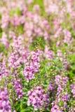 Λουλούδι Wichian Waew Στοκ φωτογραφία με δικαίωμα ελεύθερης χρήσης
