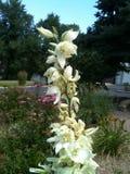 Λουλούδι Yucca στοκ εικόνα