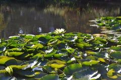 Λουλούδι Zenabbildung Lotus Στοκ εικόνες με δικαίωμα ελεύθερης χρήσης