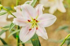 Λουλούδι Zephyranthes Κοινά ονόματα για τα είδη σε αυτό το γένος συμπεριλαμβανομένου Στοκ Φωτογραφία