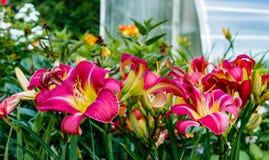 Λουλούδι Zephyranthes κρίνος νεράιδων, rainflower, zephyr, μαγικός Στοκ εικόνα με δικαίωμα ελεύθερης χρήσης