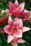 Λουλούδι Zephyranthes Τα κοινά ονόματα για τα είδη σε αυτό το γένος περιλαμβάνουν τον κρίνο, rainflower, zephyr, μαγικός, Atamasc Στοκ εικόνες με δικαίωμα ελεύθερης χρήσης