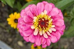 Λουλούδι Zinia με το ρόδινο άνθος Στοκ εικόνα με δικαίωμα ελεύθερης χρήσης