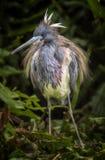 Λοφίο αναπαραγωγής ερωδιών Tricolored στοκ φωτογραφίες