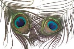 Λοφίο φτερών Peacock Στοκ Φωτογραφία