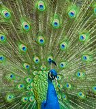 Λοφίο Peacock Στοκ Εικόνα