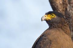 Λοφιοφόρη κινηματογράφηση σε πρώτο πλάνο αετών φιδιών Στοκ εικόνα με δικαίωμα ελεύθερης χρήσης