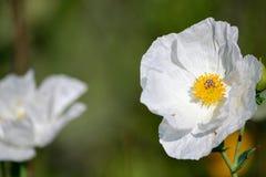 Λοφιοφόρη παπαρούνα, άσπρο λουλούδι, Argemone polyanthemos Στοκ φωτογραφίες με δικαίωμα ελεύθερης χρήσης