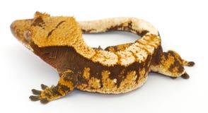 λοφιοφόρη πλευρά gecko Στοκ εικόνες με δικαίωμα ελεύθερης χρήσης