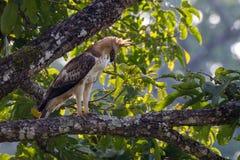 Λοφιοφόρος αετός γερακιών Στοκ εικόνα με δικαίωμα ελεύθερης χρήσης