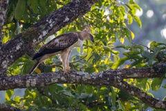 Λοφιοφόρος αετός γερακιών Στοκ Εικόνα