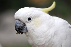 λοφιοφόρος κίτρινος cockatoo Στοκ φωτογραφία με δικαίωμα ελεύθερης χρήσης