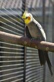 λοφιοφόρος παπαγάλος cockatoo Στοκ φωτογραφία με δικαίωμα ελεύθερης χρήσης