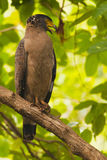 Λοφιοφόρος serpant αετός Στοκ Εικόνες