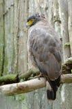 Λοφιοφόρο αετός φιδιών ή cheela spilornis Στοκ εικόνα με δικαίωμα ελεύθερης χρήσης