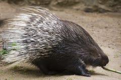 λοφιοφόρο ινδικό porcupine Στοκ φωτογραφία με δικαίωμα ελεύθερης χρήσης